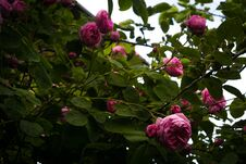 Pink Climbing Roses Royalty Free Stock Images