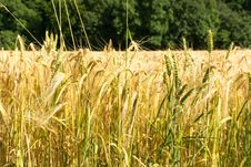 Free Food Grain, Wheat, Triticale, Crop Royalty Free Stock Photography - 123126217