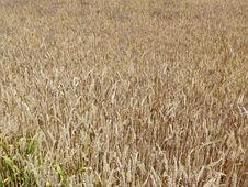 Free Crop, Field, Grass Family, Food Grain Stock Photos - 123126423