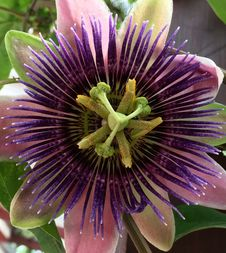 Free Flower, Plant, Passion Flower, Passion Flower Family Royalty Free Stock Photo - 123126445