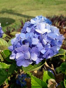 Free Flower, Blue, Plant, Hydrangea Royalty Free Stock Images - 123126539