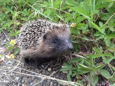 Free Hedgehog, Erinaceidae, Monotreme, Echidna Royalty Free Stock Image - 123126566