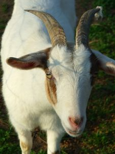 Free Goats, Goat, Horn, Cow Goat Family Stock Photo - 123126640