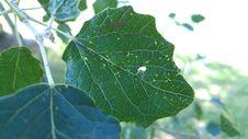 Free Leaf, Plant, Plant Pathology, Plane Tree Family Royalty Free Stock Photo - 123126735