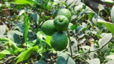 Free Fruit Tree, Fruit, Citrus, Plant Royalty Free Stock Photo - 123126875