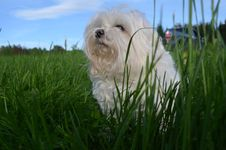 Free Dog Breed, Maltese, Grass, Dog Like Mammal Royalty Free Stock Photos - 123126938