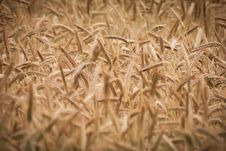 Free Grain, Grass Family, Food Grain, Rye Royalty Free Stock Photography - 123127887