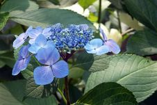 Free Flower, Plant, Blue, Hydrangea Royalty Free Stock Photo - 123205575