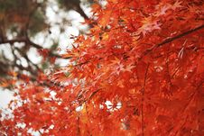 Free Maple Leaf, Autumn, Tree, Maple Tree Royalty Free Stock Photo - 123239455