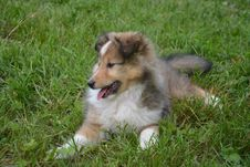 Free Dog, Rough Collie, Dog Like Mammal, Scotch Collie Royalty Free Stock Image - 123239506