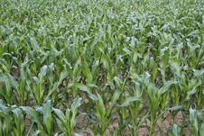 Free Plant, Agriculture, Crop, Field Stock Images - 123239704