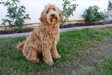 Free Dog, Dog Like Mammal, Dog Breed, Goldendoodle Stock Images - 123239904