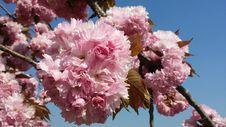 Free Pink, Blossom, Flower, Cherry Blossom Royalty Free Stock Photos - 123240118