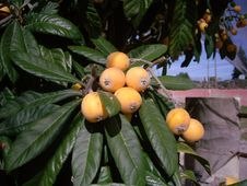 Free Fruit, Plant, Fruit Tree, Produce Royalty Free Stock Photography - 123240277