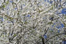 Free Blossoming European Cherry Background Royalty Free Stock Images - 12339629