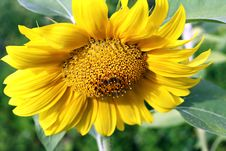 Free Sunflower Stock Images - 12339674