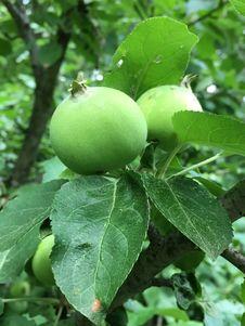 Free Fruit Tree, Fruit, Leaf, Apple Royalty Free Stock Images - 123314279