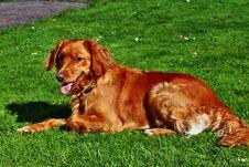 Free Dog, Dog Breed, Irish Setter, Mammal Royalty Free Stock Photos - 123314508