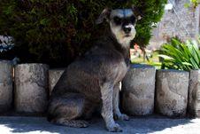 Free Dog Like Mammal, Dog, Dog Breed, Miniature Schnauzer Royalty Free Stock Photos - 123314588