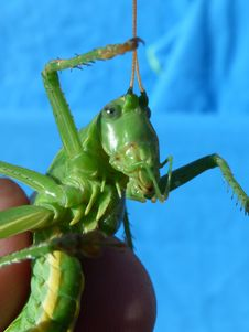 Free Insect, Grasshopper, Invertebrate, Cricket Like Insect Royalty Free Stock Photos - 123314608