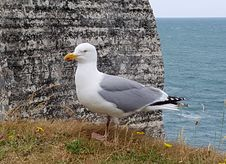 Free Bird, Gull, Seabird, European Herring Gull Stock Image - 123314631