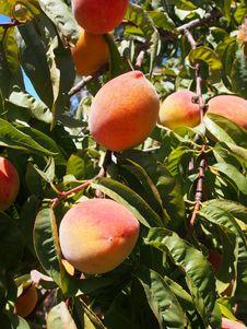 Free Fruit, Peach, Fruit Tree, Produce Stock Photography - 123314702