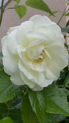 Free Flower, Rose, White, Rose Family Stock Images - 123314744