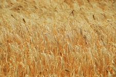 Free Wheat, Food Grain, Grain, Grass Family Stock Photography - 123314822