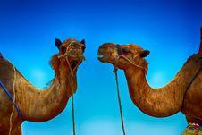 Free Camel, Camel Like Mammal, Arabian Camel, Sky Stock Photography - 123399852