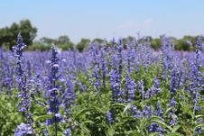 Free Plant, Lavender, Common Sage, Lupinus Mutabilis Stock Photo - 123399890