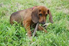 Free Dog, Dog Breed, Dog Like Mammal, Grass Royalty Free Stock Photo - 123399895
