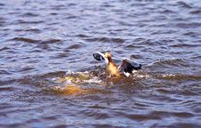 Free Water, Bird, Duck, Water Bird Stock Images - 123399924