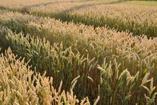 Free Grass Family, Crop, Field, Food Grain Royalty Free Stock Images - 123399939