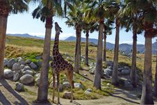 Free Tree, Arecales, Giraffe, Palm Tree Royalty Free Stock Photography - 123400027