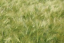 Free Ecosystem, Grass, Triticale, Food Grain Stock Images - 123400144