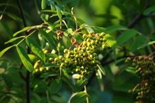 Free Plant, Barberry Family, Pistacia Lentiscus, Fruit Tree Stock Image - 123400361