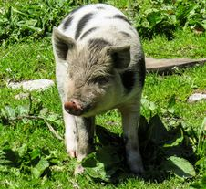 Free Pig Like Mammal, Pig, Fauna, Domestic Pig Stock Images - 123469684