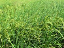 Free Grass, Crop, Vegetation, Ecosystem Stock Photo - 123469810