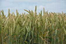 Free Food Grain, Wheat, Triticale, Crop Stock Photos - 123469883