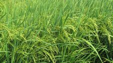 Free Grass, Crop, Agriculture, Grass Family Royalty Free Stock Photos - 123469948