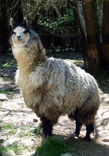 Free Fauna, Llama, Goats, Livestock Stock Photography - 123469982