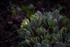 Free Crassula In The Garden Stock Photography - 123649132