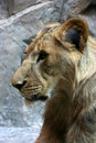Free Young Lion Stock Photo - 1245700