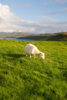 Free Sheep Stock Image - 1240781