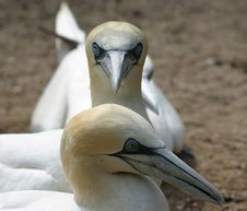 Free Portrait Of Gannets Royalty Free Stock Images - 1241269
