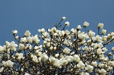 Free The Magnoliatree Stock Photo - 1241550