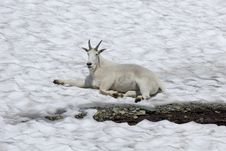 Free Mountain Goat On Glacier Stock Image - 1243141
