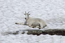 Free Mountain Goat On Glacier Stock Image - 1243141