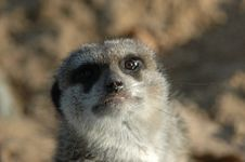 Free The Meerkat Stock Images - 1244074