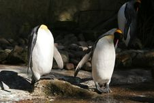 Free Penguin Royalty Free Stock Image - 1244356